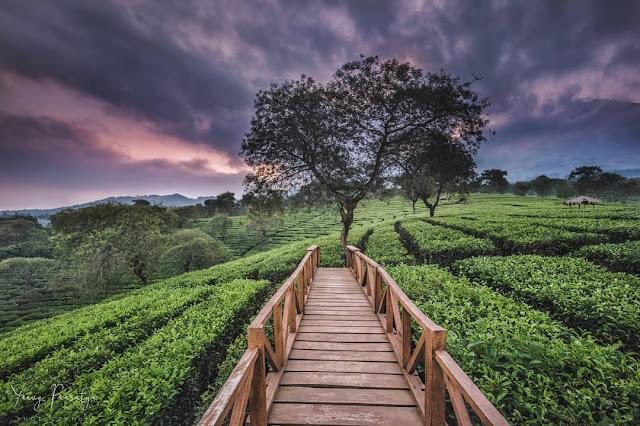 Jalan Menuju Kebun Teh Wonosari