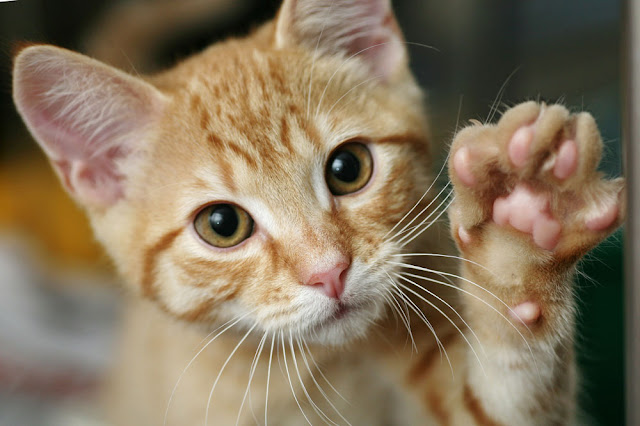 The five things to do to set your house up right for your cat. Photo shows ginger kitten