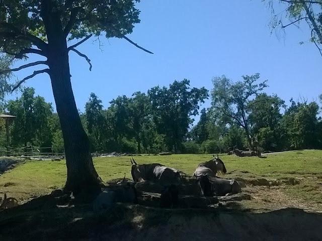 Gnu safari pombia