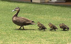 The behavior of young ducks following their mother is known as imprinting
