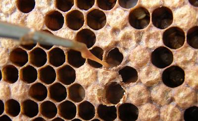 Ερώτηση μελισσοκόμου προς το ΑΠΘ:Τα σπόρια του βακτηρίου που είναι υπεύθυνο για την ασθένεια της Αμερικάνικης Σηψιγονίας είναι ανθεκτικά στη θέρμανση;