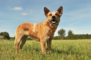Australian-Cattle-Dog-Red