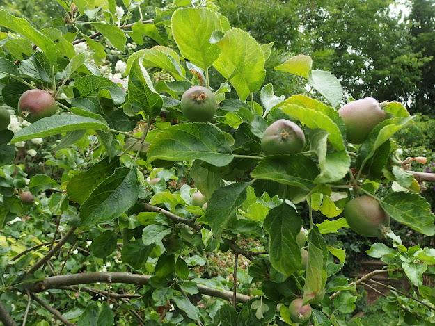 Well spaced apples on the Red Windsor tree