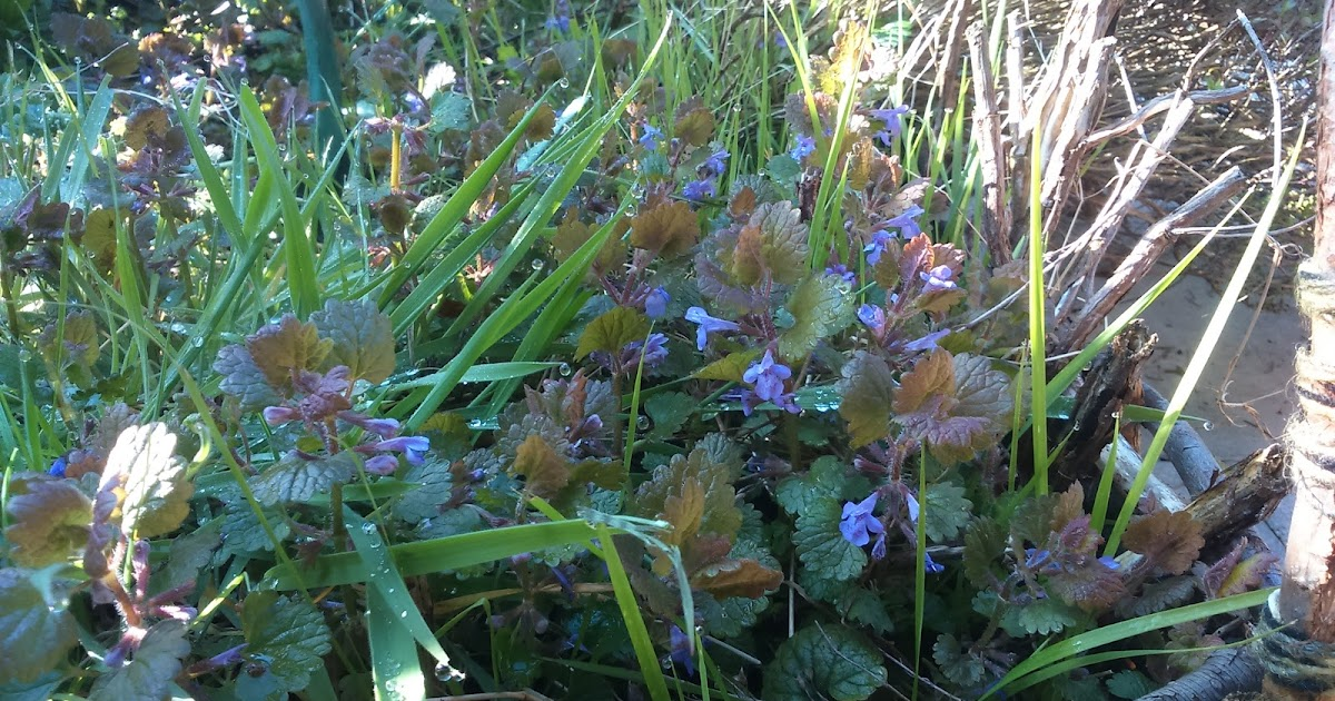bernadetts blog heilpflanzen und mehr die gundelrebe glechoma hederacea. Black Bedroom Furniture Sets. Home Design Ideas