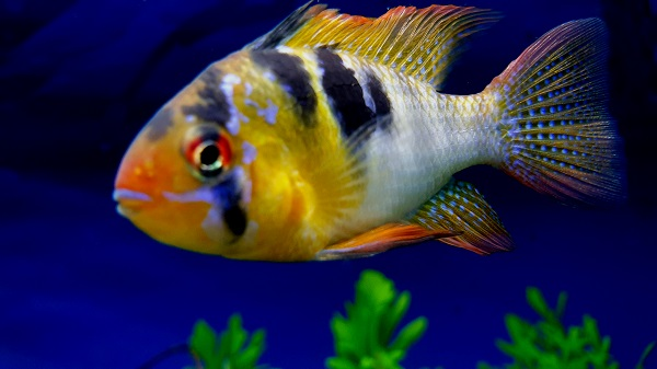 Dwarf Butterfly Cichlid / Asian Ram Fish Tank Filter