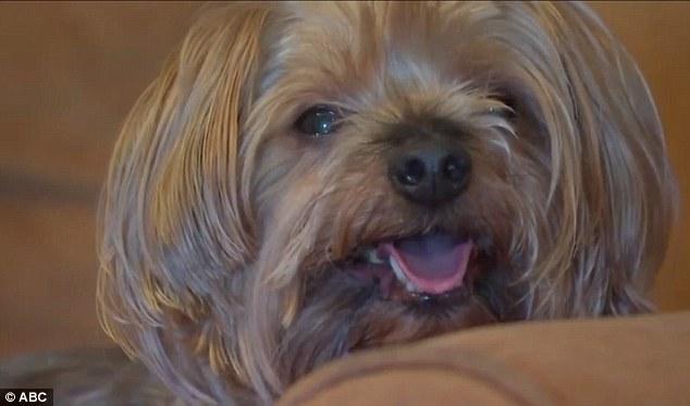 Craigslist Yorkie Dogs For Sale