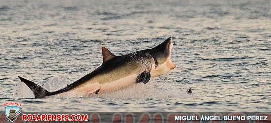 Pescador australiano salvó a un tiburón blanco encallado | Rosarienses, Villa del Rosario