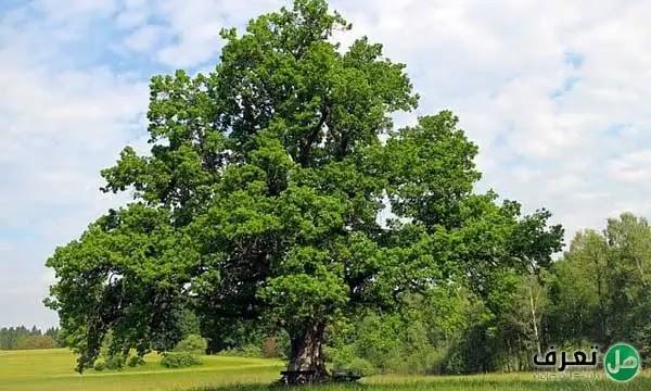 شجرة البلوط وفوائدها