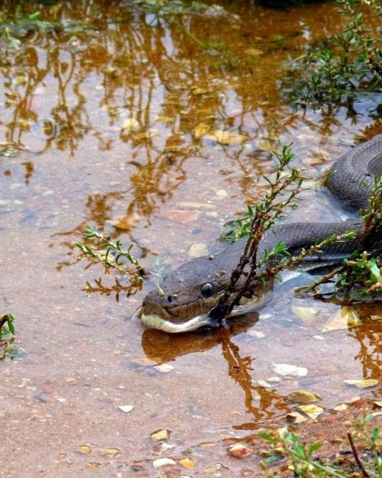 Massive python eats crocodile (13 pics) | Amazing Creatures