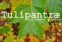 http://kolonihavelivet.blogspot.com/2015/11/tulipantr-liriodendron-tulipifera.html