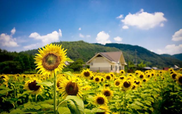 veld zonnenbloemen achtergrond