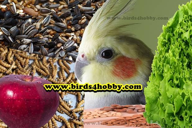 غذاء عصافير الحب صنف طائر الكوكتيل او ببغاء الكروان