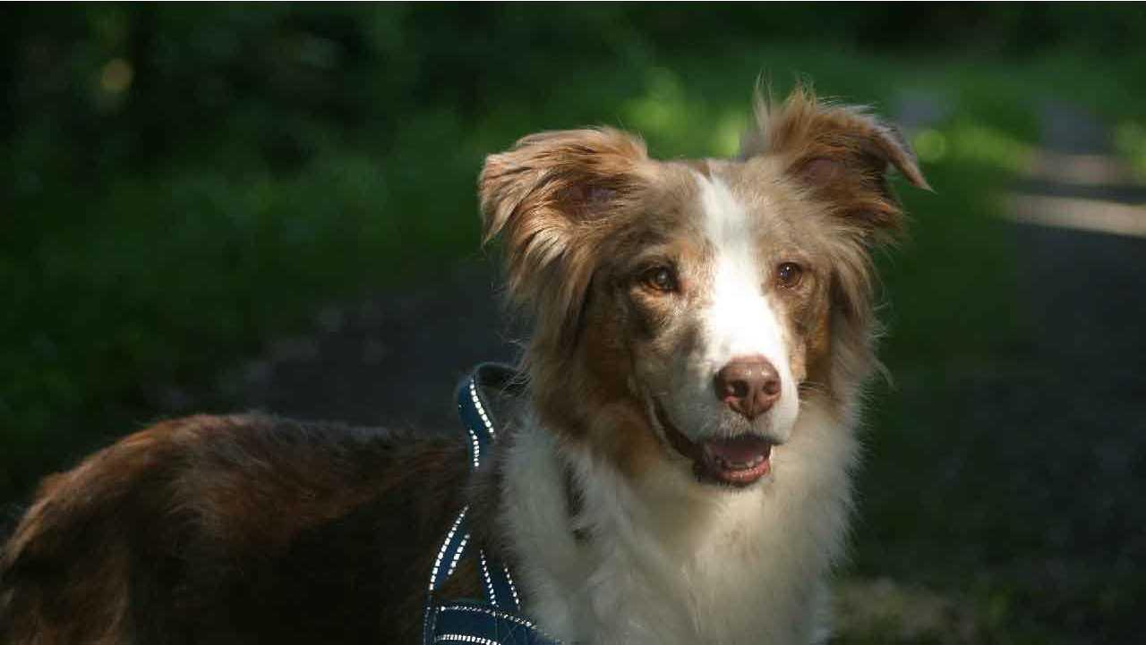 le chien berger australien, police d'assurance, mutuelle chien, assurance chien, assurance pour animaux de compagnie, assurance pour animaux domestiques, assureur, berger américain miniature, animal de compagnie, aliments pour chien, nourriture pour chien
