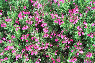 https://1.bp.blogspot.com/-yz-7slp8soU/WM7RGyi67qI/AAAAAAAAG7c/WdKWuvxr03kg82_YVSMKjlimdk-6WoDqACLcB/s1600/Autumn+Sage+Bush.jpeg