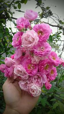 hoa hồng leo tầm xuân được trồng tại công viên