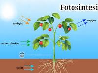 Yok Belajar Fotosintesis pada tumbuhan - Biologi SMA - MA kelas 12