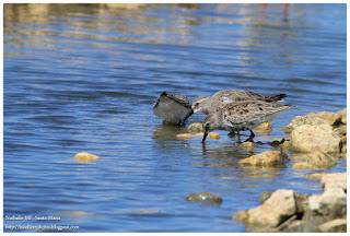 https://bioclicetphotos.blogspot.fr/search/label/B%C3%A9casseau%20variable%20-%20Calidris%20alpina