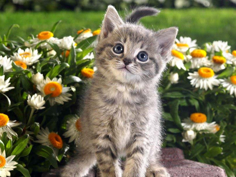 sweet-cat-among the flowers-hd-image