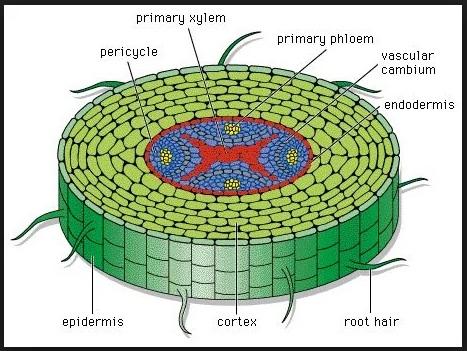 Sekolah Menengah Pertama Materi Struktur Dan Fungsi Tubuh Tumbuhan Contoh Soal IPA Kelas 8 Sekolah Menengah Pertama Tentang Struktur Dan Fungsi Tubuh Tumbuhan