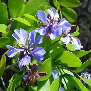 Guaiaco, planta nativa do caribe e américa do sul.