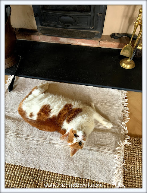 My Week at BBHQ Feline Fiction on Fridays #118 at Amber's Library ©BionicBasil®