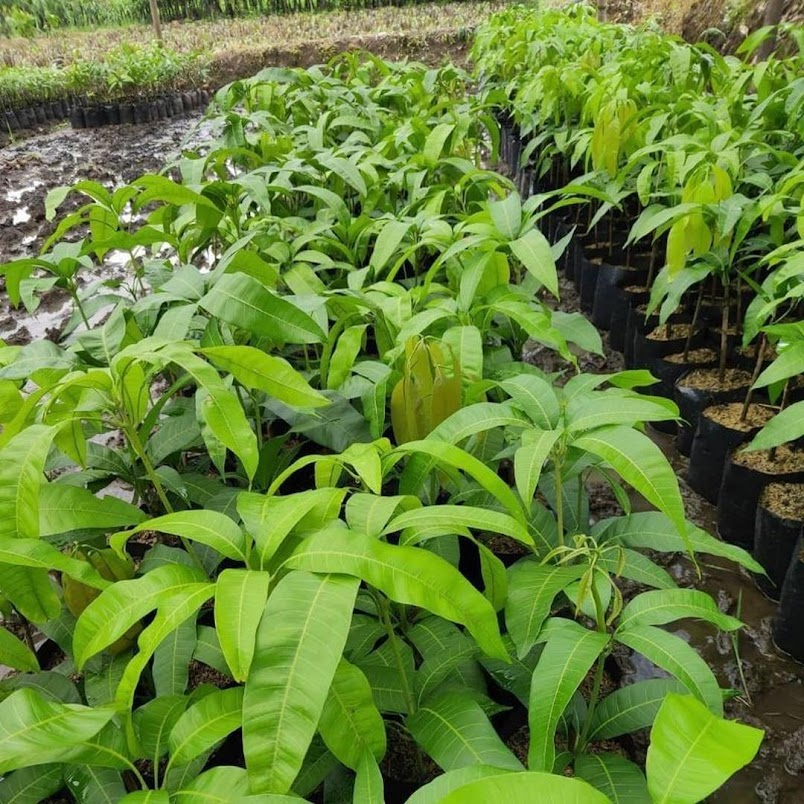 COD Bibit mangga chokanan hasil stek okulasi cepat berbuah Sumatra Selatan