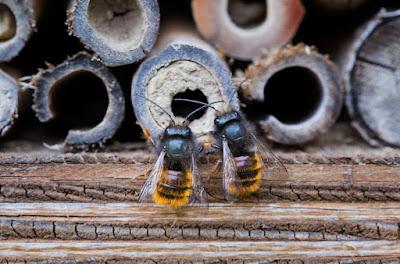 Närbild på två bin vid insektshotell.