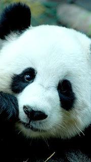 Wallpaper Whatsapp Boneka Panda