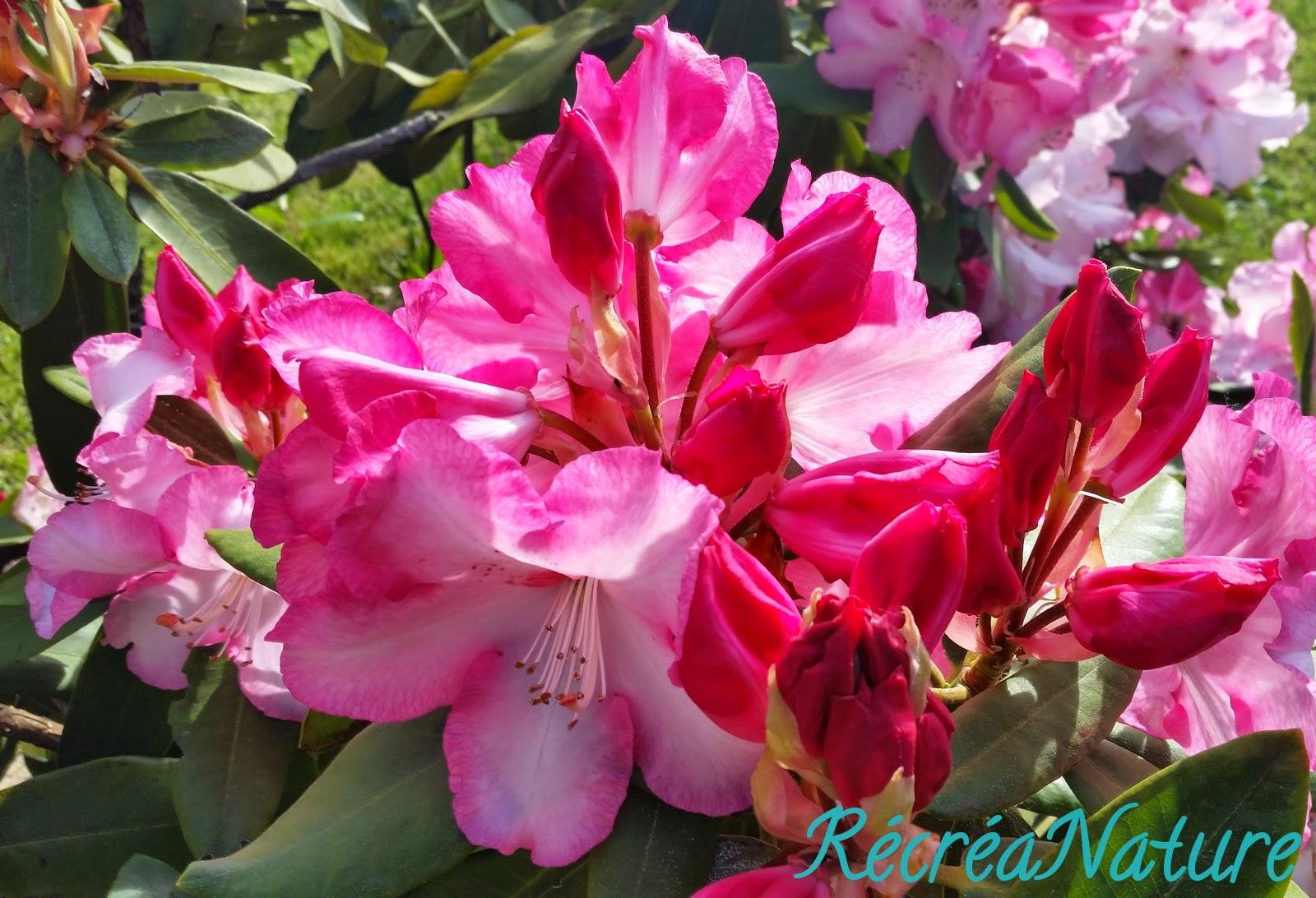 Mon Jardin en Mai #1 : Fleur de Rhododendron Rose