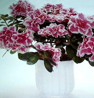 цветет азалия