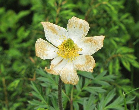 Sasanka alpejska (Anemone alpina L.).