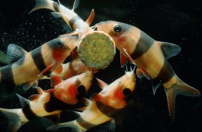 Makanan Ikan Botia