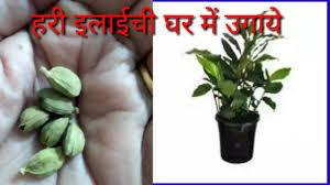 How to grow Green Cardamom plant at home.घर पर हरी इलाईची का पौधा कैसे उगायें।