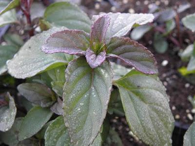 Vier cultivars Munt destilleren