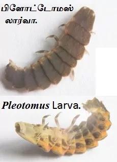 Pleotomus larva