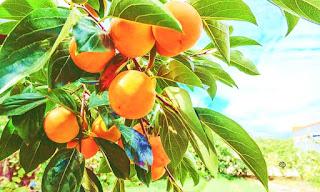 Where do persimmon trees grow