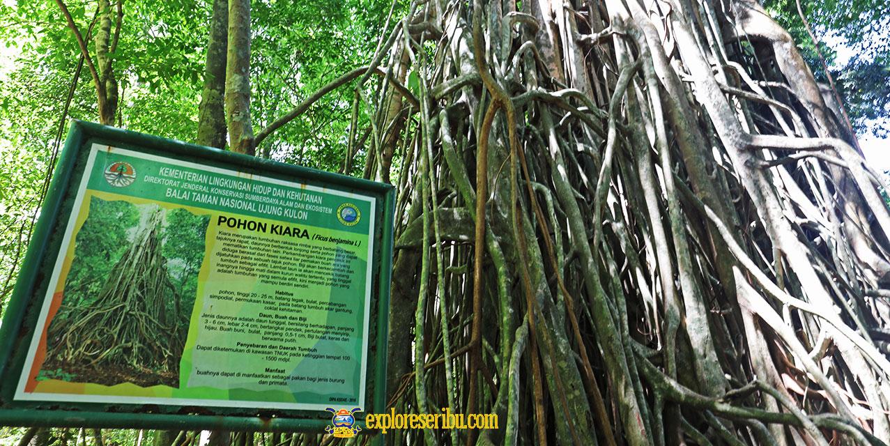 kiara pencekik di taman nasional ujung kulon