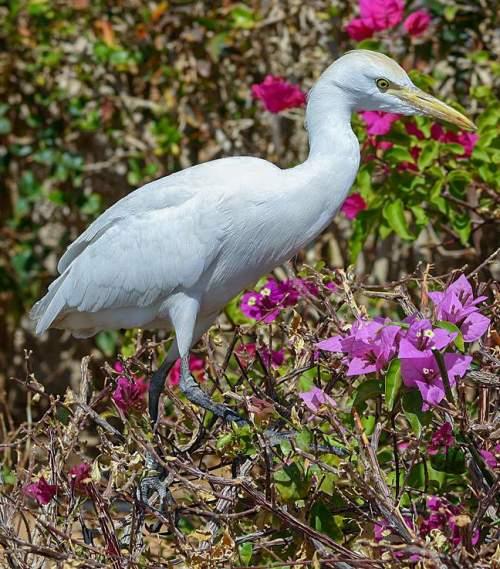Bubulcus ibis
