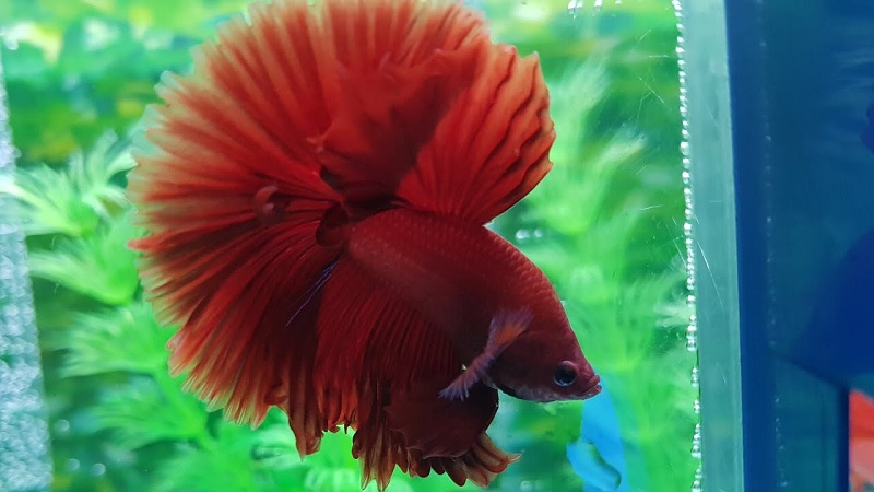 Image Beautiful Betta Fish Red