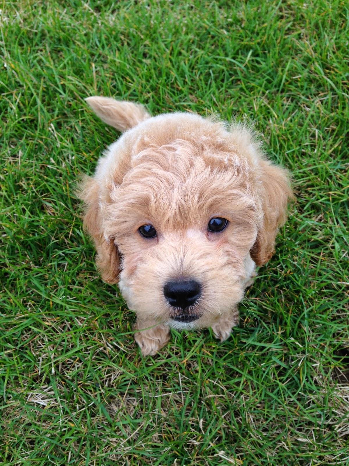 goldendoodle puppy mini