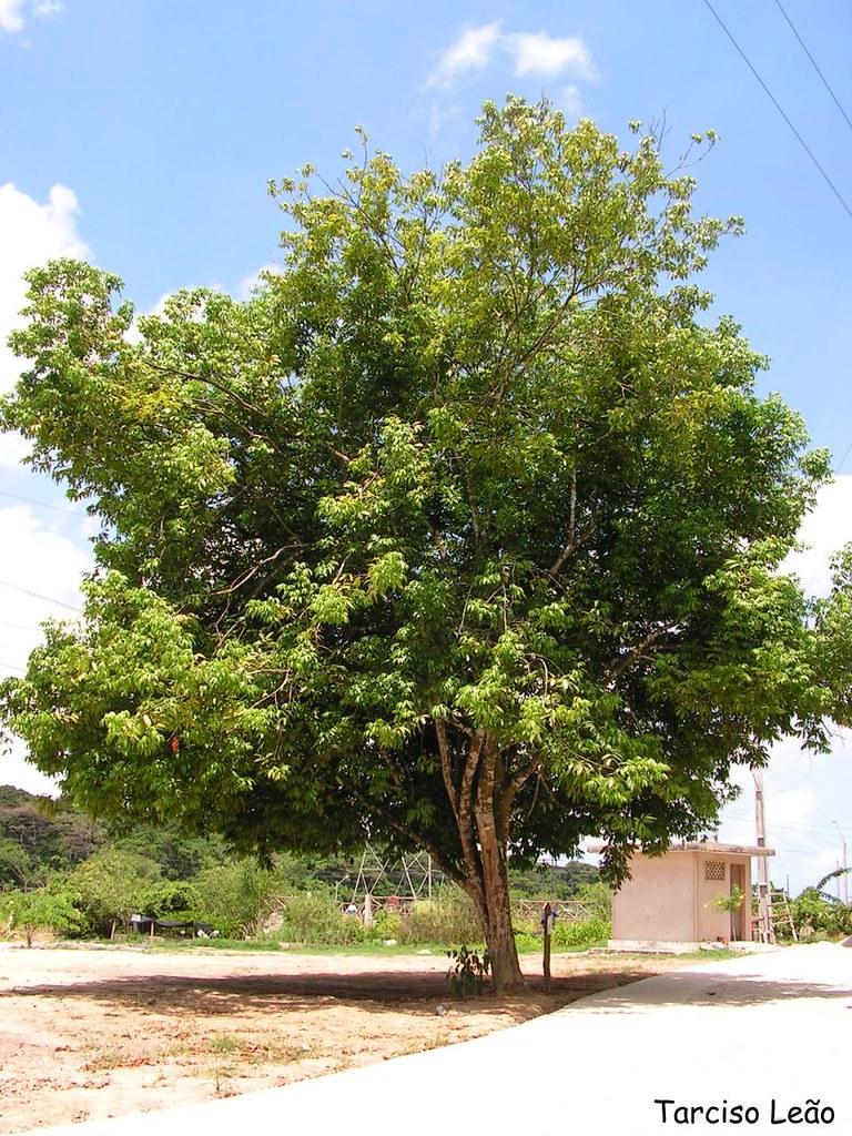 Árvore Breu Branco | Protium heptaphyllum