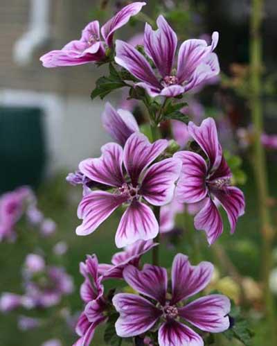 As flores são chamativas, de tamanho médio, com cinco pétalas, que podem ser nas cores branca, rosa, vermelha e roxa. As folhas são alternadas, divididas em lóbulos e palmadas.