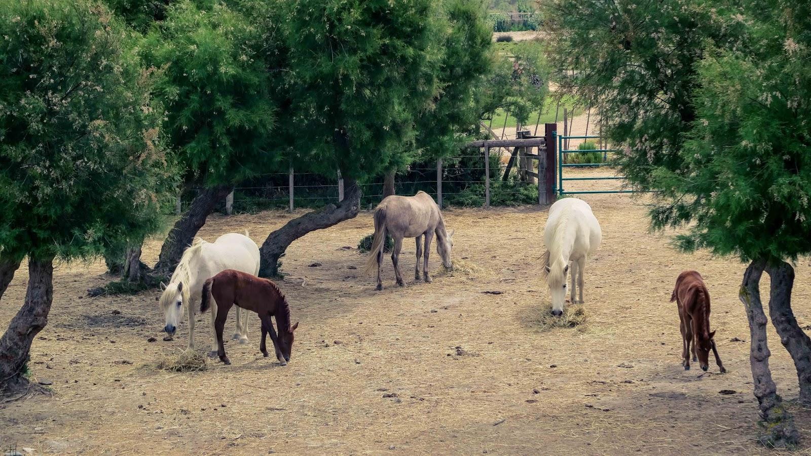 camargue horses horse white liquid grain liquidgrain sunset kathryn