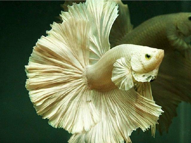 Cara Merawat Ekor Ikan Cupang