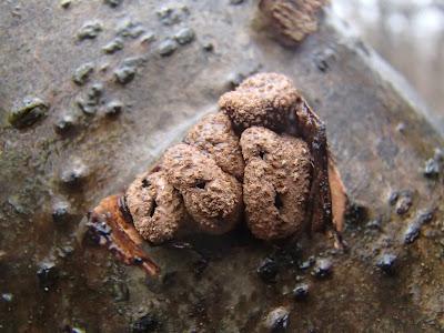 grzyby 2016, grzyby w listopadzie, grzyby nadrzewne, rzadkie grzyby nadrzewne, grzyby w Lasku Wolskim, Encoelia furfuracea orzechówka mączysta