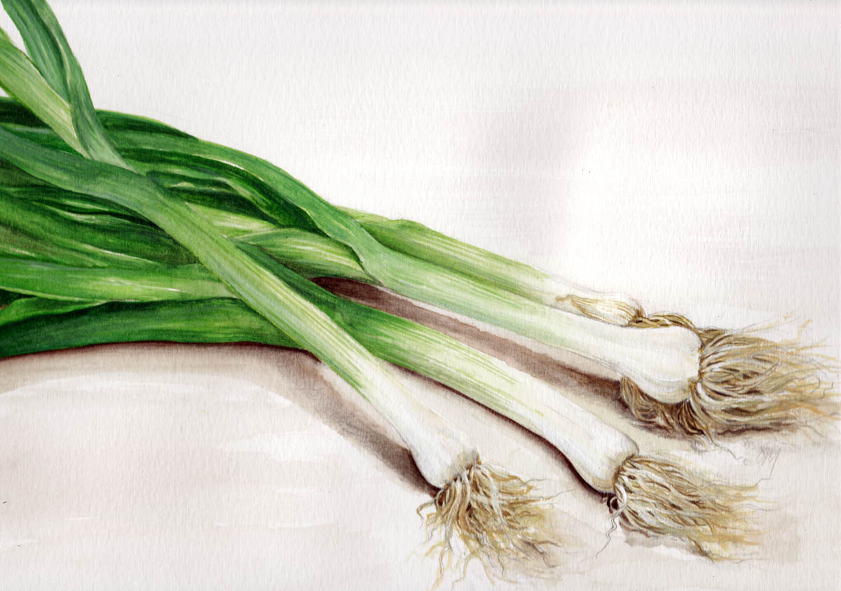 Green Onion Sketch In may   18 spring onionsGreen Onion Sketch