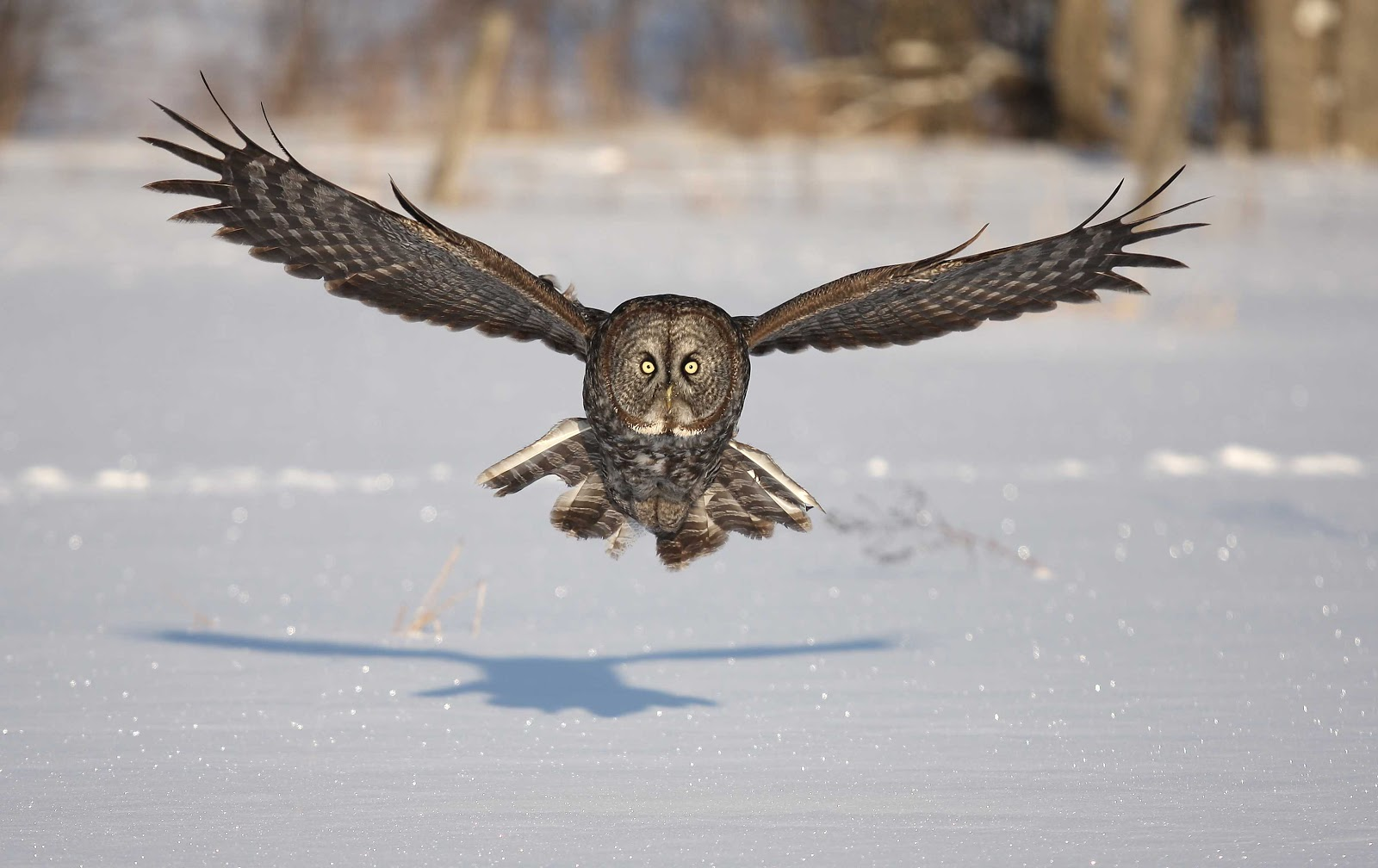 Animal Wallpapers Hunting Great Gray Owl Wallpapers