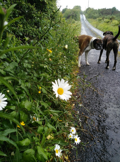 daisies by the side of the road and boxer dogs