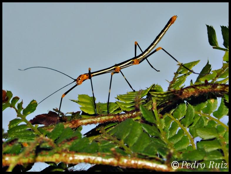 Ninfa macho L3 de oreophoetes peruana, 3 cm de longitud