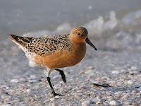 Red Knot B95 in breeding plumage – Sanibel Island, Fla. – May 12, 2011 – Hans Hillewaert